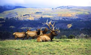 Elk north of Durango CO