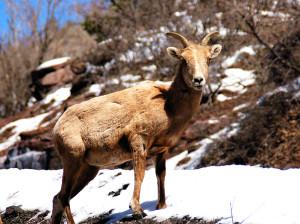 Mountain goat near Durango CO