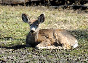 Young Deer near Durango CO