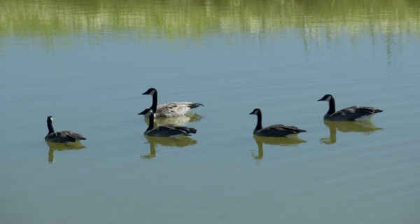 Shenandoah land geese-1